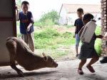 В Китае на ферме живет теленок-кенгуру