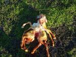 На ферме в Австралии родился ягненок-паук с двумя телами