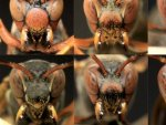 Ученые выяснили, что осы-полисты узнают друг друга по целостному образу