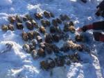 Из Амура выловили мешок с  26 парами отрубленных кистей рук