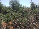В Ульяновской области неизвестная сила кольцами уложила сосны в лесу