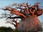 В Африке начали усыхать гигантские баобабы
