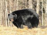 В США медведь спас потерявшегося в мороз в лесу ребенка
