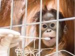 В зоопарке Швейцарии самка орангутана попалась на измене
