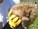 В зоопарке Челябинска разжиревшего ежа посадили на жесткую диету