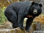 Мужчина с корзинкой отбился от гималайского медведя в тайге