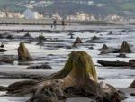 В Уэльсе обнаружили остатки доисторического леса, затонувшего около 4,5 тысяч лет назад
