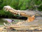 В Индонезии крокодил заживо съел женщину-ученого