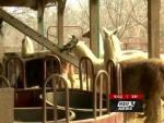 В Кентукки загадочный зверь убил шесть лам в загоне