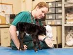 В США появился теленок размером с кошку