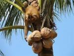 На Шри-Ланке обезьяна убила старушку кокосом