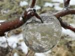 В Мичигане на дереве выросли прозрачные яблочки