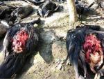 В Индии загадочный хищник распотрошил 40 уток