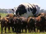 Австралийский фермер вырастил самую большую корову в мире