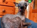 Самый уродливый пес Великобритании стал моделью