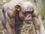 Лысый шимпанзе-качок покорил соцсети