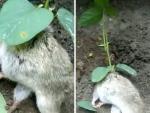 В Индии обнаружили крысу, из тела которой пророс соевый куст