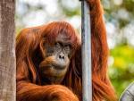В Австралии умер самый старый орангутан в мире