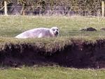 В Великобритании посреди поля обнаружили тюленя