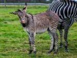 В Англии родился гибрид зебры и осла