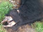 В Аргентине произошел новый случай странного увечья коров