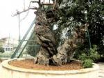 В Палестине рухнул дуб Авраама: сбывается пророчество о Конце света