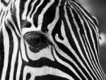 Ученые выяснили, зачем зебрам нужны черно-белые полосы