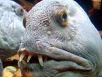 Дайверы выловили в Тихом океане жуткую рыбу с человеческим лицом